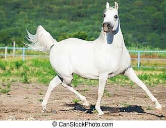 white arab in motion