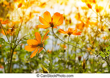 Yellow flowers at sunrise in the park nature background