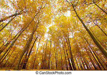 Tall yellow maple trees - Wide angle shot of tall yellow...