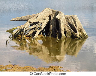 stumps in the water - stumps of dead trees with bizzare...