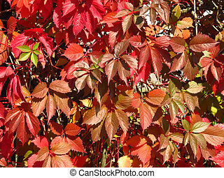 red woodbine - red leaves of woodbine on the fence...