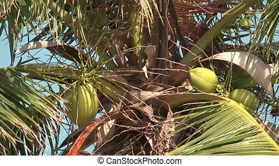 Coconats on the palm tree