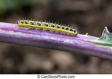 Caterpillar of white cabbage butterfly on a red cabbage...