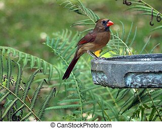 Female cardinal on bird bath - female cardinal drinking...