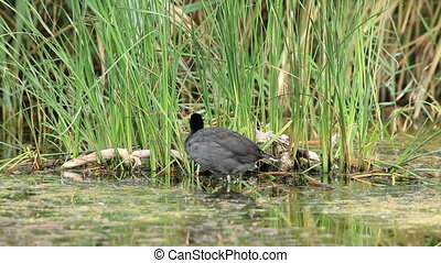 Coot in the water (Fulica atra)