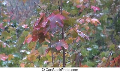 First snow falling on maple leaves in autumn. Red tree...
