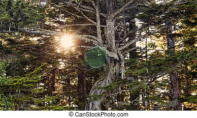 Magical Forest - Magical sphere in a lush cedar forest with...