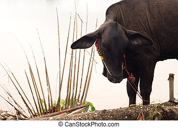 Close up of Black Cow.