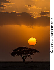 sunset amboseli - Sunset with silhouetted African Acacia...