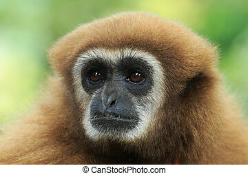 gibbon close- up face in zoo