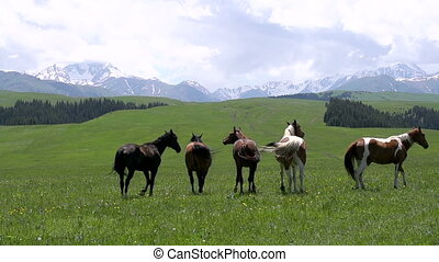 Herd Grazes in the Wild - Herd of horses grazing amidst the...