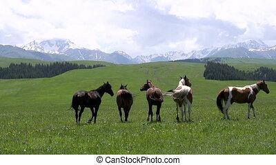 Herd Grazes in the Wild - Herd of horses grazing amidst the...