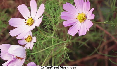 Flower Cosmos - Slow motion Mexican aster flower Cosmos