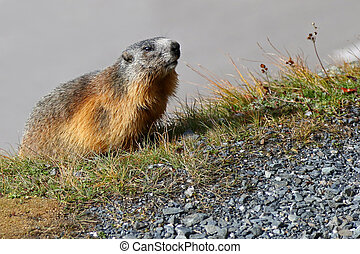 Marmot at Grossglockner, Austria - Cute Alpine Marmot at...