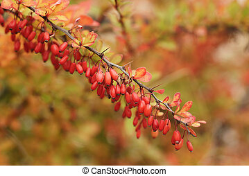 barberry berries on the bush in autumn