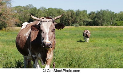 Cows grazing in the field. - Beautiful gray and white cows...
