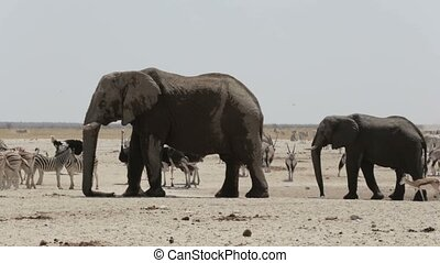 herd of African elephants drinking at a muddy waterhole,...