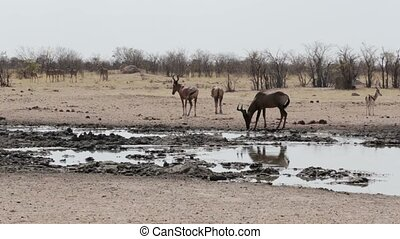 Common tsessebe Alcelaphus buselaphus on waterhole,Etosha...