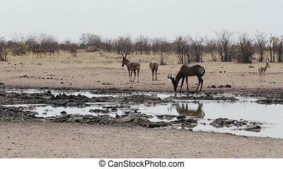 Common tsessebe (Alcelaphus buselaphus) on waterhole,Etosha...