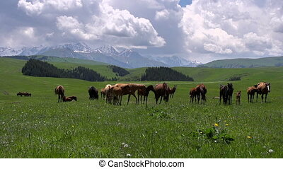 Mares with Foals Grazing - Herd of horses grazing amidst the...