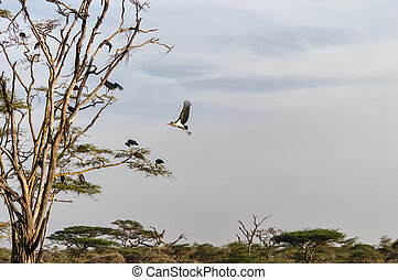 Marabou - Many Marabou storks in a tree.