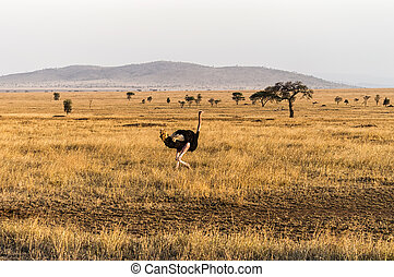 Struthio camelus (Ostrich), male - Serengeti National Park,...