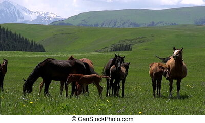 Grasslands in the Foothills - Herd of horses grazing amidst...