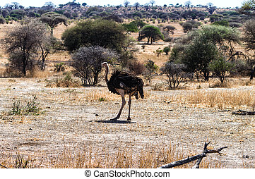 Struthio camelus Ostrich, male - Serengeti National Park,...