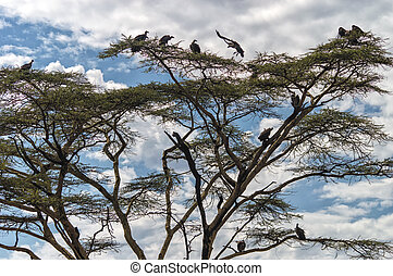vultures - Flock of vultures sitting in a tree Serengeti...