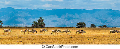 Wildebeest - A panorama of a group of Blue Wildebeest or Gnu...