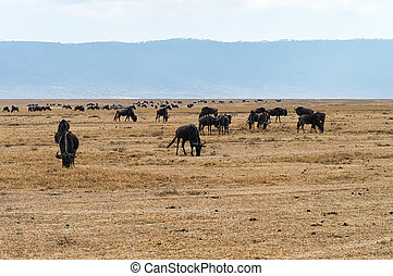 herd of Wildebeests grazing - Big herd of Wildebeests...
