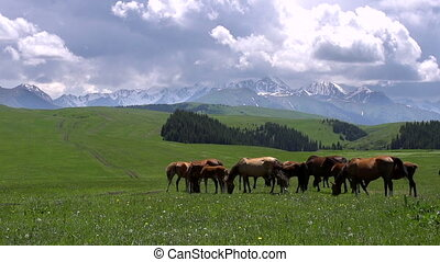 Rich Pastures in the Foothills - Herd of horses grazing...