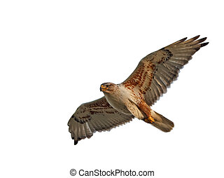 Ferruginous Hawk Isolated - A Ferruginous Hawk flying with...