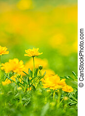 Wedelia Trilobata Flower in nature small cute beauty yellow