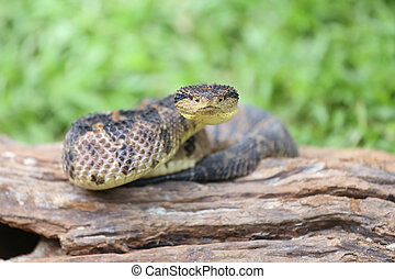 Jumping Pit Viper (atropoides Mexicanus)