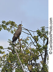Young sea eagle on a tree
