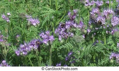 Honey bees and wild bees feeding on Phacelia tanacetifolia -...
