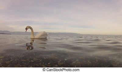 Mute Swan Cygnus olor swimming close to camera
