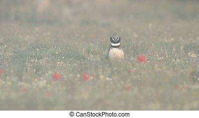 Little Bustard displaying - Little Bustard (Tetrax tetrax)...