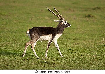 male black buck - photo of a male black buck
