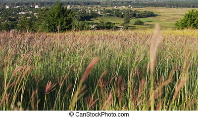 Meadow grasses in the field swaying in the wind on a...