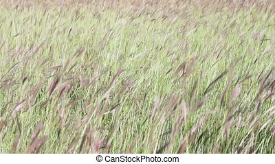 Meadow grasses in the field swaying in the wind. - Green...