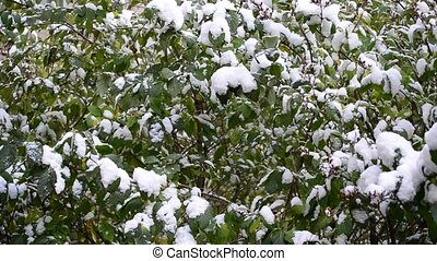 Green Leaves Covered with Snow - A Green Leaves Covered with...