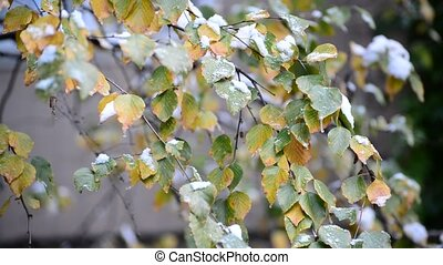 Yellow birch leaves in snow