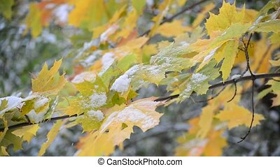 Yellow maple leaves in snow - Yellow maple leaves in the...