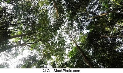 treetops in the rain forrest north - wide ground view of...