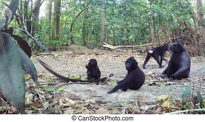 family of Celebes crested macaque - Family of Ape Monkey...