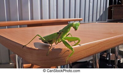 Great insect mantis on the table