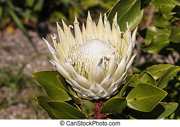closeup of white protea flowerhead in bloom