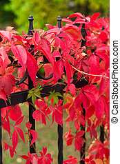 autumn colors - red vine - autumn colors